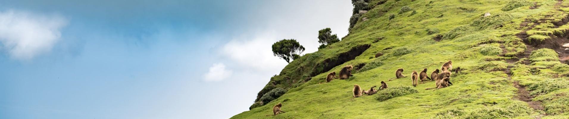 Babouins dans les montagnes du Simien en Ethiopie